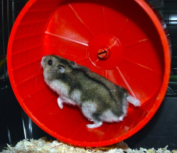 Hamster on wheel IoT ThingSpeak